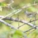 Geelsnavelhoningvogel-Pale-billed-flowerpecker-01