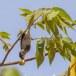Geelsnavelhoningvogel-Pale-billed-flowerpecker-03
