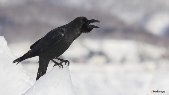 Dikbekkraai - Large-billed Crow 04