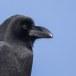 Dikbekkraai - Large-billed Crow 01