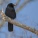 Dikbekkraai - Large-billed Crow 02