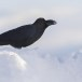 Dikbekkraai - Large-billed Crow 03