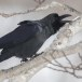 Dikbekkraai - Large-billed Crow 05