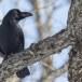 Dikbekkraai - Large-billed Crow 06