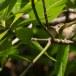 Diksnavelfitis-Large-billed-leaf-warbler-01