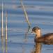 dodaars-little-grebe-19
