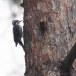 Drieteenspecht-Three-toed-woodpecker-01