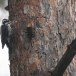 Drieteenspecht-Three-toed-woodpecker-02