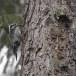 Drieteenspecht-Three-toed-woodpecker-03