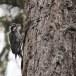 Drieteenspecht-Three-toed-woodpecker-04
