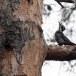 Drieteenspecht-Three-toed-woodpecker-05