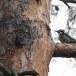 Drieteenspecht-Three-toed-woodpecker-06