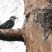 Drieteenspecht-Three-toed-woodpecker-07
