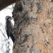 Drieteenspecht-Three-toed-woodpecker-08