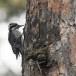 Drieteenspecht-Three-toed-woodpecker-09