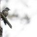 Drieteenspecht-Three-toed-woodpecker-10