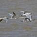 Dunbekmeeuw-Slender-billed-Gull-01
