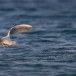 Dunbekmeeuw-Slender-billed-Gull-03