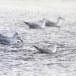 Dunbekmeeuw-Slender-billed-Gull05