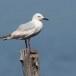 Dunbekmeeuw-Slender-billed-Gull06
