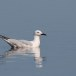 Dunbekmeeuw-Slender-billed-Gull07