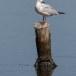 Dunbekmeeuw-Slender-billed-Gull08