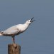 Dunbekmeeuw-Slender-billed-Gull12