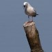 Dunbekmeeuw-Slender-billed-Gull16