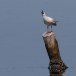 Dunbekmeeuw-Slender-billed-Gull18