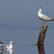 Dunbekmeeuw-Slender-billed-Gull19