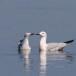 Dunbekmeeuw-Slender-billed-Gull22