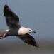 Dunbekmeeuw-Slender-billed-Gull23