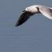 Dunbekmeeuw-Slender-billed-Gull24