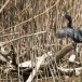 Dwergaalscholver - Pygmy Cormorant 06