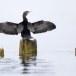 Dwergaalscholver-Pygmy-cormorant-10
