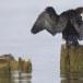 Dwergaalscholver-Pygmy-cormorant-11
