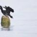 Dwergaalscholver-Pygmy-cormorant-12