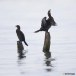 Dwergaalscholver-Pygmy-cormorant-13