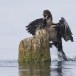 Dwergaalscholver-Pygmy-cormorant-14