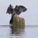 Dwergaalscholver-Pygmy-cormorant-15