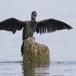 Dwergaalscholver-Pygmy-cormorant-16