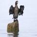 Dwergaalscholver-Pygmy-cormorant-17