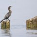 Dwergaalscholver-Pygmy-cormorant-18