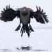 Dwergaalscholver-Pygmy-cormorant-19