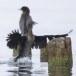 Dwergaalscholver-Pygmy-cormorant-20
