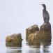 Dwergaalscholver-Pygmy-cormorant-21