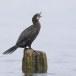 Dwergaalscholver-Pygmy-cormorant-22