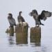 Dwergaalscholver-Pygmy-cormorant-23