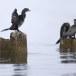 Dwergaalscholver-Pygmy-cormorant-24