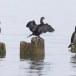 Dwergaalscholver-Pygmy-cormorant-25